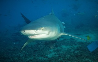 Bull Shark - Beqa Lagoon with Aqua Trek - August 2014.