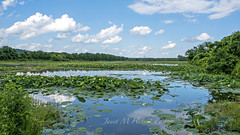 Summer Day (jmhutnik) Tags: greenbottomwildlifemanagementarea lotus water sky clouds summer july trees westvirginia lesage cabellcounty reflections flower wildflowers marsh