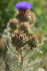 Cynara cardunculus (esta_ahi) Tags: subirats penedès barcelona spain españa испания cynara cardunculus cynaracardunculus cardo flor flora flores compositae asteraceae