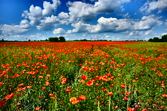 DSCF0770_jnowak64 (jnowak64) Tags: poland polska malopolska cracow krakow krakoff krajobraz natura przyroda kwiaty maki wiosna mik