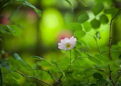 A rose between thorns (paulapics2) Tags: rose flower fleur flora floral blümen rosa summer green thorns nature plant garden bokeh depthoffield june canoneos5dmarkiii canonef70300mmf456lisusm