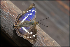 Purple Emperor (image 1 of 2) (Full Moon Images) Tags: woodwalton fen greatfen bcn wildlife trust nnr national nature reserve cambridgeshire natural england insect macro purple emperor butterfly