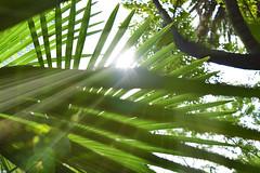 DSC_68 (denise hidalgo) Tags: jardin garden palmera palmtree rayosdesol sunrays verde green sol sun destellos flashes naturaleza nature