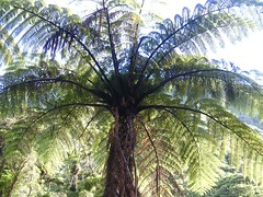 Fern tree (davidparratt) Tags: tree fern ferntree paparoanp newzealand newzealandsouthisland