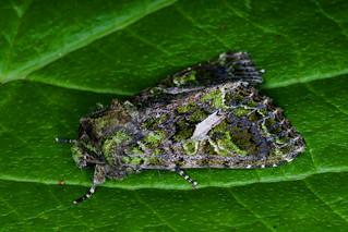 Orache Moth   -   Trachea atriplicis