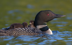 Happy Canada day eh:).......150 years!!! (Phiddy1) Tags: loon babies boat 600mm canon 5dmkiii canada
