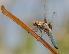 JWL1702  Chaser.. (jefflack Wildlife&Nature) Tags: broadbodiedchaser chaser libellula odonata insects insect wildlife wetlands meadows marshland ponds lakes waterways countryside nature