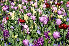 2017-04 Tulpen in overvloed in de Tulpenhof - Lisse/NL (About Pixels) Tags: 0409 2017 aboutpixels holland keukenhof lenteseizoen lisse mnd04 nikond7200 nl nederland netherlands nikon specials springseason zuidholland algemeen april art beeldendekunst bloemenpark bol bolgewas bulb collecties flora fotografie kunst nature natuur photography plant tulip tulips tulp tulpen visualarts