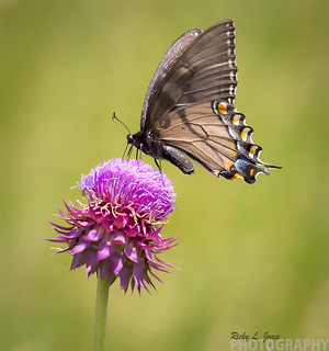 Eastern Tiger Swallowtail Dark Form
