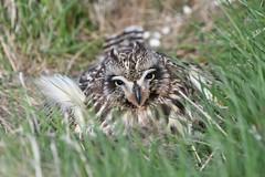 Short-eared Owl 56 (brandugla) (Svenni and his Icelandic birds.) Tags: asioflammeus brandugla shortearedowl
