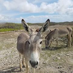 Donkey (R13X) Tags: bonaire underwaterphotography underwatermacrophotography scubadiving diving denlaman dutchcaribbean dutchislands shorediving nikon nikon105mm nikon60mm d7200 donkey barireef somethingspecial saltpier torisreef