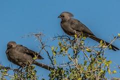 You Heard Me! (gecko47) Tags: bird turacorelative greygoawaybird corythaixoidesconcolor social bushveld woodland suburbia call namibia etoshanationalpark