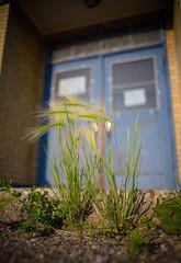 Untrampled (Kurayba) Tags: edmonton alberta canada ca smcpa28mmf20 pentax pentaxa k1 28 f2 manual focus untrampled grass disused elementary school idylwylde door wooden blue paint peeling bonnie doon