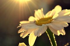 imagination (joy.jordan) Tags: daisy flower light sunset texture bokeh flare nature summer backyard poetry