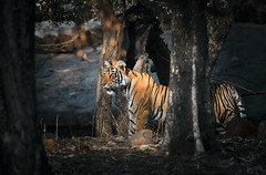 T 39 Noor's Cub (Rajbir Sunny Oberoi) Tags: tiger feline stripes mammals cub litter ranthambhorenationalpark wild wildlifephotgraphy cats nocturnal predator woods forest jungle safari outdoor nature india