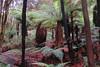 Rotorua: Silver Fern Trees (Larry Myhre) Tags: silverfern ferntree hellsgate rotorua newzealand geothermal
