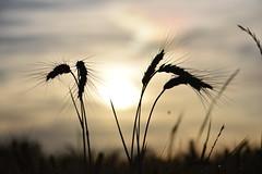 Todays Sunset - Sonnenuntergang (Jojorei) Tags: sonne sonnenuntergang schweiz weizen gerste roggen getreide gelb grau stimmung nikon nikkor105micro drama dramatic expression sunset feeling grain food gegenlicht landwirtschaft nahrung anbau agro agriculture essen