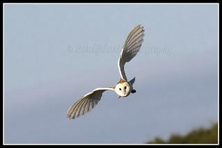 IMG_0135 Barn Owl