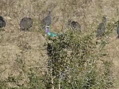 P1150909 Zimbabwe (37) (archaeologist_d) Tags: zimbabwe stanleylivingstonesafarilodge lilacbreastedroller africa southernafrica safari
