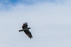 Schotland 2017-140 (Switch62) Tags: scotland 2017 aberfoyle osprey visarend lake menteith