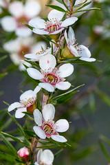 Peach blossom tea-tree (Leptospermum squarrosum) ([S u m m i t] s c a p e) Tags: bluemountains clifftoptrack princehrenrycliffwalk leptospermum nativeplants teatree winter leura peachblossomteatree leptospermumsquarrosum pink white myrtaceae