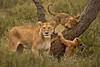 Lions of Maasai Kopjes 413 (Grete Howard) Tags: bestsafarioperator bestsafaricompany africa africansafari africanbush africananimals whichsafaricompany whichsafarioperator tanzania serengeti animals animalsofafrica animalphotos lions lioncubs maasaikopjes kopjes kopje