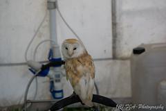 DSC_9534 (fjaphotography.co.uk) Tags: birds birdsofprrey daresbury steam