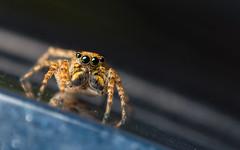 On Tilt (sk_husky) Tags: summer macro micro spider jumpingspider insect arachnid canon 6d mpe65 animal outdoor dof depthoffield salticidae