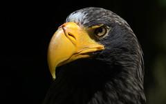 Royal (Nephentes Phinena ☮) Tags: nikond500 vogelparkwalsrode stellersseaeagle riesenseeadler birds