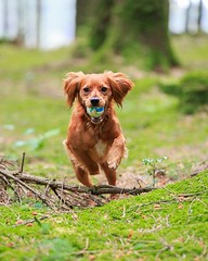 Happy Sunday my fur friends! Anyone wanna play fetch on this lovely morning? I'm definitely up for playing! • • • • • #campingwithdogs #hikingwithdogs #dogsonadventures #dogsthathike #adventuredog #thestatelyhound #houndandlife #backcountrypaws #doglove # (watson_the_adventure_dog) Tags: happy sunday fur friends anyone wanna play fetch this lovely morning im definitely up for playing • campingwithdogs hikingwithdogs dogsonadventures dogsthathike adventuredog thestatelyhound houndandlife backcountrypaws doglove hikingdogsofinstagram excellentdogs adventureswithdogs topdogphoto heelergram hikingdog animaladdicts traildog ireland bestwoof campingcollective visualsgang wanderireland instaireland inspireland irishpassion irelandgram campingculture amongthewild adorablecockers