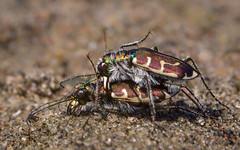 Tiger Beetles mating Cicindela hirticollis rhodensis (claudiaulrikegoodall) Tags: