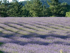 P1000084 (MEF2000) Tags: lavande lavander champs provence