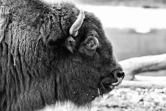 Nickel Head (marylea) Tags: aug16 2013 detroitzoo detroit zoo blackandwhite blackwhite bw bison buffalo animal strength powerful mammal profile face closeup summer summertime