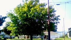 Maple tree in Summer - TMT (Maenette1) Tags: maple tree green leaves neighborhood menominee uppermichigan treemendoustuesday flickr365