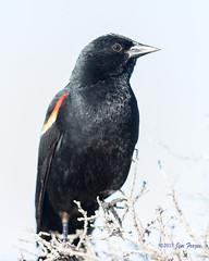 Red-winged Blackbird (Agelaius phoeniceus) - Schwabacher Landing, Grand Teton National Park (Jim Frazee) Tags: redwingedblackbird agelaiusphoeniceus schwabacherlanding grandtetonnationalpark