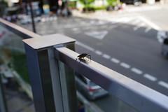 bug in the city, Umeda, Osaka (jtabn99) Tags: bug insect life city town street macro 20170701 osaka umeda japan nippon nihon 昆虫 日本 大阪 梅田 虫 カメムシ
