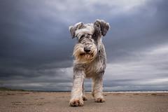 Windswept (donnyhughes) Tags: miniature schnauzer dog beach pet windy scotland uk