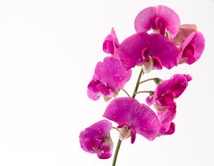 Sweet Pea in Macro (Peter Greenway) Tags: petergreenway sweetpea macroflowers wpg pink macro flickr pinkflower