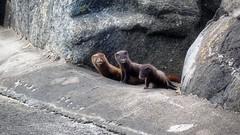 The Illers (henkeiP) Tags: iller ferret animal wild pir varberg träslövsläge äggätare nobacon