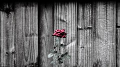 Dreary Rose (anthonysama) Tags: mood moody rainy raining rain water waterdroplets natural beauty nature texture colorsplash red roses wooden wood fenced fence bnw white black rose