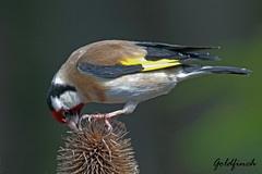 GOLDFINCH //  CARDUELIS  CARDUELIS (14CM) (Tom Webzell) Tags: naturethroughthelens