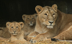 asiatic lion Planckendael JN6A9930 (joankok) Tags: leeuw lion lioncub asia azie aziatischeleeuw asiaticlion pantheraleopersica animal planckendael planckendaal mammal zoogdier dier