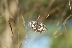 Warrior (oskaybatur) Tags: july temmuz 2017 oskaybatr nature butterfly kelebek türkiye turkey turkei çerkezköy pentaxk10d pentaxart justpentax samyang100mm closeup dof mf summer