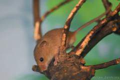 Harvest Mouse (Bri_J) Tags: tropicalbutterflyhouse northanston southyorkshire uk butterflyhouse nikon d7200 yorkshire harvestmouse mouse rodent micromysminutus