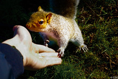 Give me five ! (C G G) Tags: squirrel animal nature wild grass green hands shake meet hello