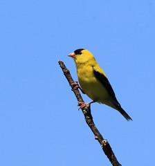 Chardonneret (Marie-Helene Abitibi) Tags: oiseau abitibi amos chardonneret mariehélène mariehelene