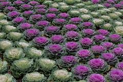 Ornamental Brassicas (idunbarreid) Tags: ornamental brassicas