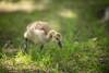 Baby Goose (Simon Brazeau) Tags: beauchamp lake lac gatineau nature goose baby spring wildlife canada nikon d800 105