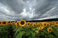 Sous un ciel maussade (Excalibur67) Tags: nikon d750 sigma 1224f4556iidghsm paysage landscape ciel cloud sky nature nuages flowers fleurs tournesol sunflower campagne jaune yellow