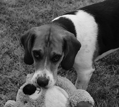 Lucky (LuckyMeyer) Tags: hund haustier beagle jagdhund dog play black white schwarz weiss